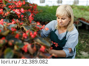 Купить «Mature female florist in apron working with begonia plants in hothouse», фото № 32389082, снято 20 августа 2018 г. (c) Яков Филимонов / Фотобанк Лори
