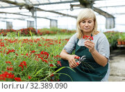Купить «Mature woman florist with scissors taking care vervena plants in greenhouse», фото № 32389090, снято 20 августа 2018 г. (c) Яков Филимонов / Фотобанк Лори