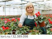 Купить «Cheerful mature woman gardener choosing flowers of red cyclamen in pot», фото № 32389098, снято 20 августа 2018 г. (c) Яков Филимонов / Фотобанк Лори
