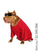 Купить «American Pit Bull Terrier dog dressed in a red t-shirt», фото № 32395586, снято 30 октября 2019 г. (c) Алексей Кузнецов / Фотобанк Лори