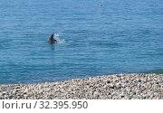 Купить «Дельфин выпрыгивает из воды около берега», эксклюзивное фото № 32395950, снято 9 октября 2019 г. (c) Dmitry29 / Фотобанк Лори