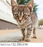 Купить «Маленький серый котенок идет по улице города, крупный план», фото № 32396618, снято 5 сентября 2019 г. (c) Екатерина Овсянникова / Фотобанк Лори