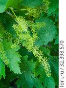 Купить «Grape vine flowers among leaves», фото № 32398570, снято 6 июня 2019 г. (c) Короленко Елена / Фотобанк Лори