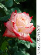 Купить «Two color rose close up», фото № 32398578, снято 12 июня 2019 г. (c) Короленко Елена / Фотобанк Лори