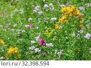 Купить «St. John's wort, amber, Hypericum perforatum, touch-and-heal herb in bloom», фото № 32398594, снято 16 июня 2019 г. (c) Короленко Елена / Фотобанк Лори