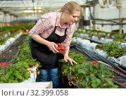 Купить «Female gardener in apron picking harvest of fresh strawberries in hothouse», фото № 32399058, снято 9 апреля 2019 г. (c) Яков Филимонов / Фотобанк Лори