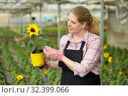 Купить «Female florist checking potted ornamental Helianthus», фото № 32399066, снято 9 апреля 2019 г. (c) Яков Филимонов / Фотобанк Лори