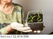 Купить «A female gardener shows a pot with sprouts after a pick.», фото № 32414998, снято 3 апреля 2016 г. (c) Акиньшин Владимир / Фотобанк Лори
