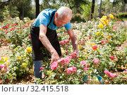 Купить «Man cutting with scissors roses bushes», фото № 32415518, снято 10 мая 2019 г. (c) Яков Филимонов / Фотобанк Лори