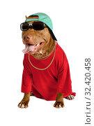 Купить «Amusing American Pit Bull Terrier dog dressed in a red tee shirt and a cap over white», фото № 32420458, снято 30 октября 2019 г. (c) Алексей Кузнецов / Фотобанк Лори