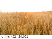 Купить «cereal field with ripe wheat spikelets», фото № 32420662, снято 26 июля 2019 г. (c) Syda Productions / Фотобанк Лори