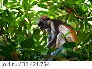 Купить «Zanzibar red colobus in Jozani forest. Tanzania, Africa», фото № 32421754, снято 6 октября 2019 г. (c) Знаменский Олег / Фотобанк Лори