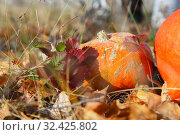Pumpkin in the grass on autumn foliage in the Thanksgiving harvest season on a bright sunny autumnal natural background. Orange little raw vegetarian vegetable, healthy food. Стоковое фото, фотограф Светлана Евграфова / Фотобанк Лори
