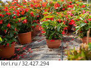 Купить «Blooming potted begonias», фото № 32427294, снято 6 августа 2020 г. (c) Яков Филимонов / Фотобанк Лори