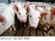 pig farm industry farming hog barn pork. Стоковое фото, фотограф Mark Agnor / Фотобанк Лори