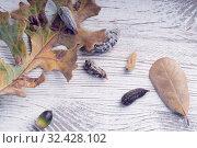 Купить «Сезон ядовитых гусениц южной фланелевой моли.  Several caterpillars  of the southern flannel moth (Megalopyge opercularis) on a board and oak leaves. Venomous spines under the hairs can produce a very painful sting. Most dangerous caterpillar in the United States.», фото № 32428102, снято 16 ноября 2019 г. (c) Ирина Кожемякина / Фотобанк Лори