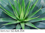 Купить «Beautifully bloomed agave leaves like lotus flower», фото № 32428354, снято 4 ноября 2019 г. (c) Kira_Yan / Фотобанк Лори