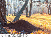 Beautiful bright sunny colorful autumn landscape with an ant hill in the meadow. Morning in the forest among birch trees in nature outdoors in a yellow golden forest in fine warm weather. Стоковое фото, фотограф Светлана Евграфова / Фотобанк Лори