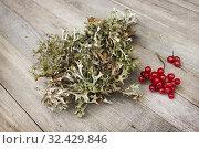Купить «Исландский мох (Cetraria islandica) и ягоды калины», фото № 32429846, снято 18 ноября 2019 г. (c) Александр Романов / Фотобанк Лори