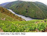 Купить «Vineyards, Ribeira Sacra, Heroic Viticulture, Sil river canyon, Doade, Sober, Lugo, Galicia, Spain», фото № 32431162, снято 23 мая 2019 г. (c) age Fotostock / Фотобанк Лори