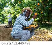 Купить «Farmer harvesting peaches», фото № 32440498, снято 12 июля 2018 г. (c) Яков Филимонов / Фотобанк Лори