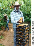 Купить «Successful male owner of orchard gathering harvest of ripe peaches on sunny day», фото № 32440510, снято 12 июля 2018 г. (c) Яков Филимонов / Фотобанк Лори