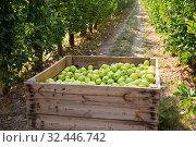 Купить «Apples harvest in big crate», фото № 32446742, снято 10 декабря 2019 г. (c) Яков Филимонов / Фотобанк Лори