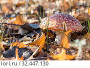 Autumn nature, mushroom season. Forest dangerous poisonous inedible hallucinogenic lamellar spotted fly agaric, poisoning of the body, deadly toadstool in the sunny meadow. Стоковое фото, фотограф Светлана Евграфова / Фотобанк Лори