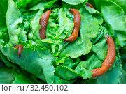 Eine Nacktschnecke im Garten frißt ein Salatblatt. Schneckenplage im Garten. Стоковое фото, фотограф Zoonar.com/Erwin Wodicka - erwin.wodicka@gm / age Fotostock / Фотобанк Лори