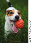 Jack Russell Terrier dog with a toy ball in his teeth. Стоковое фото, фотограф Константин Колосов / Фотобанк Лори