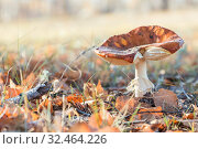 Autumn nature, mushroom season. Forest raw bitter fresh edible leaf beautiful Russula with a brown hat growing on a sunny meadow among foliage and grass. Стоковое фото, фотограф Светлана Евграфова / Фотобанк Лори
