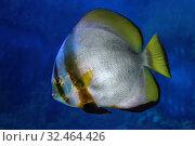 Купить «Рыба Голубой платакс  (Platax orbicularis)», фото № 32464426, снято 6 мая 2019 г. (c) Татьяна Белова / Фотобанк Лори