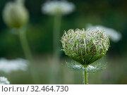 Купить «Wild carrot seed head close up», фото № 32464730, снято 15 июля 2019 г. (c) Короленко Елена / Фотобанк Лори