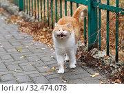 Купить «Рыжий кот жалобно мяукает, зажмурив глаза», эксклюзивное фото № 32474078, снято 8 октября 2019 г. (c) Dmitry29 / Фотобанк Лори