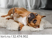 Купить «French bulldog lying on a fur rug», фото № 32474902, снято 13 ноября 2019 г. (c) Алексей Кузнецов / Фотобанк Лори
