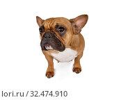 Купить «Portrait of French bulldog», фото № 32474910, снято 13 ноября 2019 г. (c) Алексей Кузнецов / Фотобанк Лори