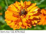 Купить «Пчела собирает нектар на цветке календулы», фото № 32474922, снято 7 августа 2019 г. (c) Елена Коромыслова / Фотобанк Лори