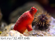 Купить «Red sea squirt (Halocynthis papillosa) is a filter ascidiacea.», фото № 32497646, снято 23 сентября 2015 г. (c) age Fotostock / Фотобанк Лори