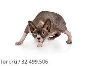 Купить «Canadian Sphinx cat in the pose of a hunter», фото № 32499506, снято 13 ноября 2019 г. (c) Алексей Кузнецов / Фотобанк Лори