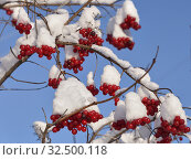 Red berries of viburnum in the snow against a blue sky. Стоковое фото, фотограф Владимир Аликин / Фотобанк Лори