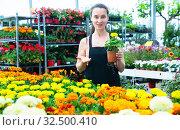 Купить «Female florist checking potted flowers French marigold», фото № 32500410, снято 13 декабря 2019 г. (c) Яков Филимонов / Фотобанк Лори