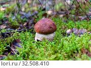 Wild mushroom in the forest close-up. Стоковое фото, фотограф Ласточкин Евгений / Фотобанк Лори