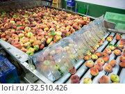 Купить «Fresh peaches running on rolling conveyor of production line», фото № 32510426, снято 10 декабря 2019 г. (c) Яков Филимонов / Фотобанк Лори