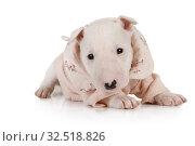 Купить «Lovely puppy Miniature Bull Terrier dressed in a jacket lying on a white», фото № 32518826, снято 13 ноября 2019 г. (c) Алексей Кузнецов / Фотобанк Лори