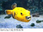 Купить «Аротрон черноточечный желтый. Морская рыба», фото № 32519674, снято 4 мая 2019 г. (c) Татьяна Белова / Фотобанк Лори