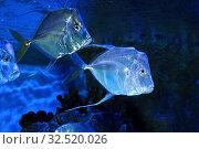 Селена или рыба вомер (Selene vomer) Стоковое фото, фотограф Татьяна Белова / Фотобанк Лори