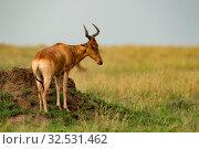 Hartebeest stands on termite mound on savannah. Стоковое фото, фотограф Zoonar.com/nwd / easy Fotostock / Фотобанк Лори