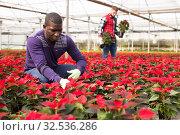 Купить «African worker caring of Euphorbia pulcherrima», фото № 32536286, снято 29 октября 2019 г. (c) Яков Филимонов / Фотобанк Лори