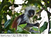 Купить «Zanzibar red colobus in Jozani forest. Tanzania, Africa», фото № 32538110, снято 6 октября 2019 г. (c) Знаменский Олег / Фотобанк Лори