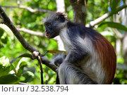 Купить «Zanzibar red colobus in Jozani forest. Tanzania, Africa», фото № 32538794, снято 6 октября 2019 г. (c) Знаменский Олег / Фотобанк Лори